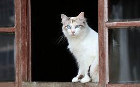 Картинка кошка, взгляд, окно, голубые глаза