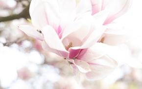 Картинка макро, весна, магнолия
