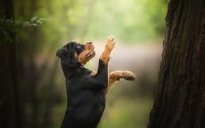 Обои лапы, ротвейлер, стойка, щенок, дерево, боке, собака