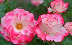 Картинка макро, яркий, розы, лепестки, пестрый