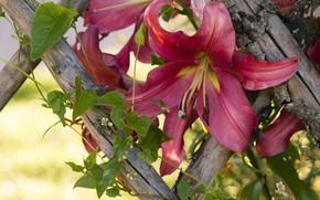 Картинка макро, лилия, ограда