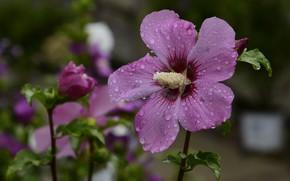 Картинка розовый, цветение, листики, тычинка, гибискус