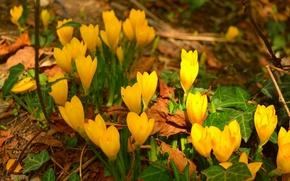 Картинка Крокусы, Crocuses, Желтые цветы, Yellow flowers