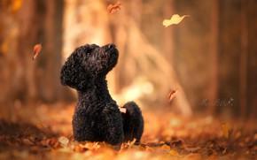 Обои боке, осень, Пудель, собака, листья