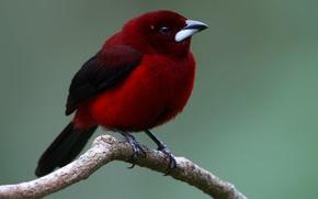 Обои птица, расписная танагра, хвост, ветка, клюв