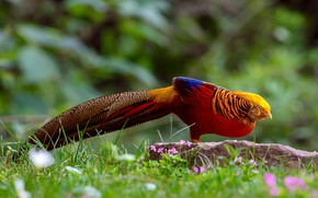 Картинка трава, природа, птица, хвост, Золотой фазан