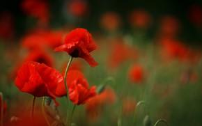 Картинка Весна, Spring, Боке, Bokeh, Красные маки, Red poppy