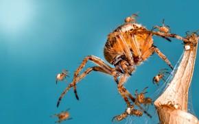 Картинка макро, паук, паучата