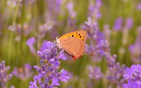 Картинка Макро, Бабочка, Лаванда, Lavender, Macro, Butterfly