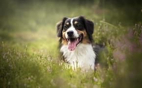 Обои язык, вереск, трава, боке, морда, Австралийская овчарка, Аусси, собака
