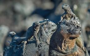 Картинка Эквадор, пресмыкающееся, Галапагосские острова, морская игуана