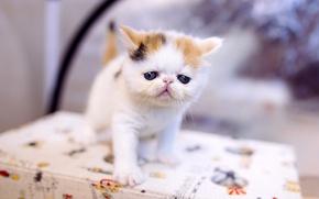 Картинка кошка, белый, кот, котенок, стол, фон, маленький, малыш, мордочка, котёнок, лапочка, пятнистый, экстремал, пусик