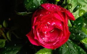 Картинка капли, макро, роза, бутон, после дождя