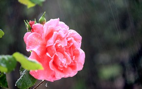 Картинка Дождь, Rain, Розовая роза, Pink rose