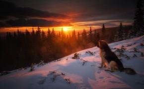 Обои закат, лес, ели, зима, пёс, природа, снег, собака