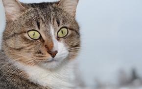 Картинка животные, кот, взгляд, морда, амур, мордочка, зверь, пушистик