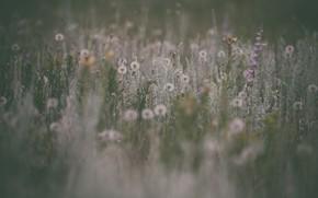 Картинка макро, цветы, природа, луг, одуванчики