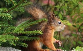 Картинка ель, ветка, белка, грызун, branches, squirrels, fir