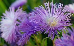 Обои цветы, красота, сентябрь, природа, растения, флора, дача, однолетники, астры, сиреневый цвет, осень