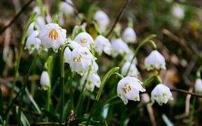 Картинка лес, цветок, макро, цветы, весна, forest, flowers, аромат, macro, боке, bokeh, spring, snowdrops, aroma, Белоцветник, …