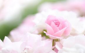 Картинка розовый, нежность, розы
