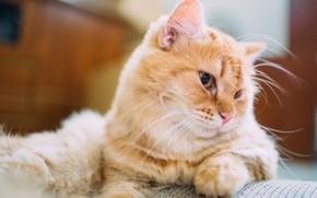 Картинка кошка, глаза, шерсть