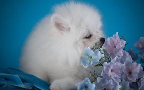 Картинка белый, щенок, гортензия, шпиц