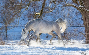 Картинка серый, конь, лошадь, бег, грация, игривый, (с) OliverSeitz