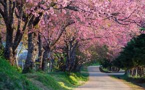 Обои деревья, ветки, парк, весна, сакура, цветение, pink, blossom, park, tree, sakura, cherry, spring, bloom