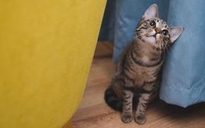 Картинка кошка, кот, взгляд, синий, желтый, серый, фон, пол, сидит, полосатый, занавеска, помещение, смотрит вверх