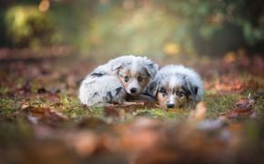 Обои взгляд, Аусси, Австралийская овчарка, парочка, щенки, боке, малыши, осень