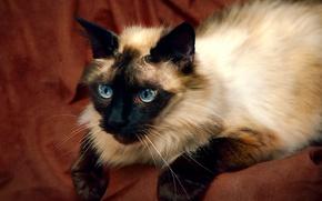 Картинка кошка, фон, красавица