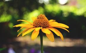Обои цветок, лето, растение, лепестки, макро, размытость