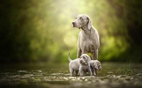 Картинка Веймаранер, Веймарская легавая, малыши, двойняшки, боке, щенки, парочка, прогулка, собаки