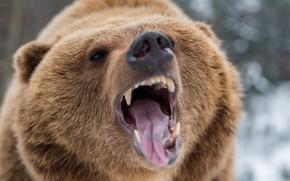 Картинка bear, nature, Fury, teeth, aggressive