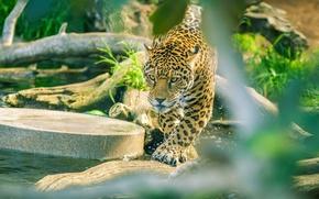 Картинка хищник, ягуар, дикая кошка, зоопарк