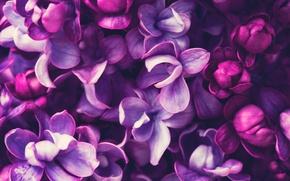 Обои весна, lilac, цветение, сирень, blossom, purple, spring, flowers