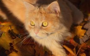 Картинка кот, взгляд, листья, мордочка, рыжий кот, котейка