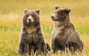 Картинка Alaska, brown bears, Lake Clark