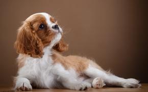 Картинка щенок, грация, порода, спаниель