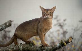 Картинка кошка, взгляд, дикая