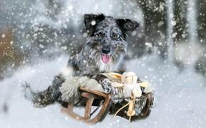 Обои кролик, санки, зайчик, снег, игрушка, собака