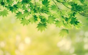 Обои листья, ветки, природа, дерево