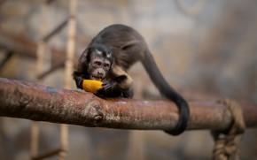 Картинка апельсин, завтрак, обезьяна, хвост, боке, Капуцин