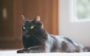 Обои черный, кот, лежит