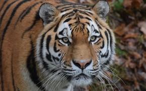 Картинка глаза, взгляд, морда, Амурский тигр