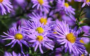 Картинка осень, фиолетовый, цветы, желтые, широкоформатные, октябрины