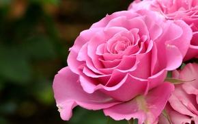 Обои фон, розы, лепестки
