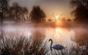 Обои закат, туман, озеро, лебеди