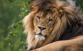 Картинка зелень, кошка, взгляд, морда, природа, фон, портрет, лев, грива, лежит, дикие кошки